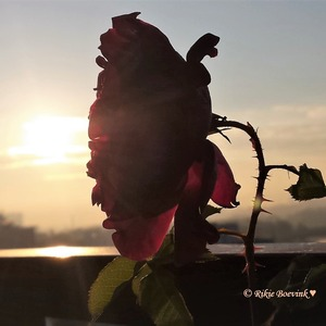 Bloeiende rode roos met op de achtergrond een water, skyline en zonsopkomst © Rikie Boevink